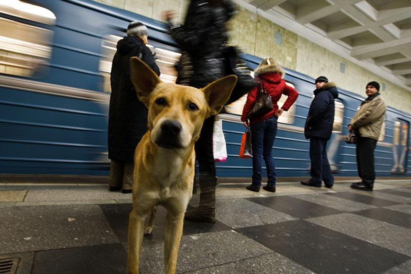 In-Rusia-cainii-calatoresc-cu-metroul-zuf
