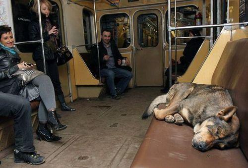 In-Rusia-cainii-calatoresc-cu-metroul-zuf_004