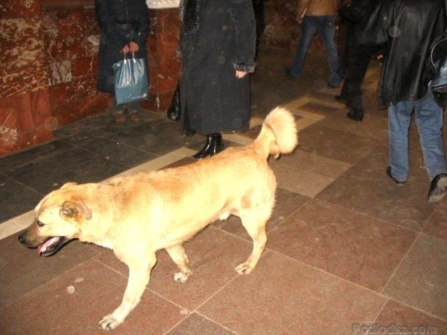 In-Rusia-cainii-calatoresc-cu-metroul-zuf_007
