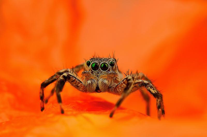 Ochi de paianjeni - Fotografii macro hipnotizante_zuf.ro_ (5)