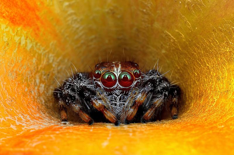 Ochi de paianjeni - Fotografii macro hipnotizante_zuf.ro_ (7)